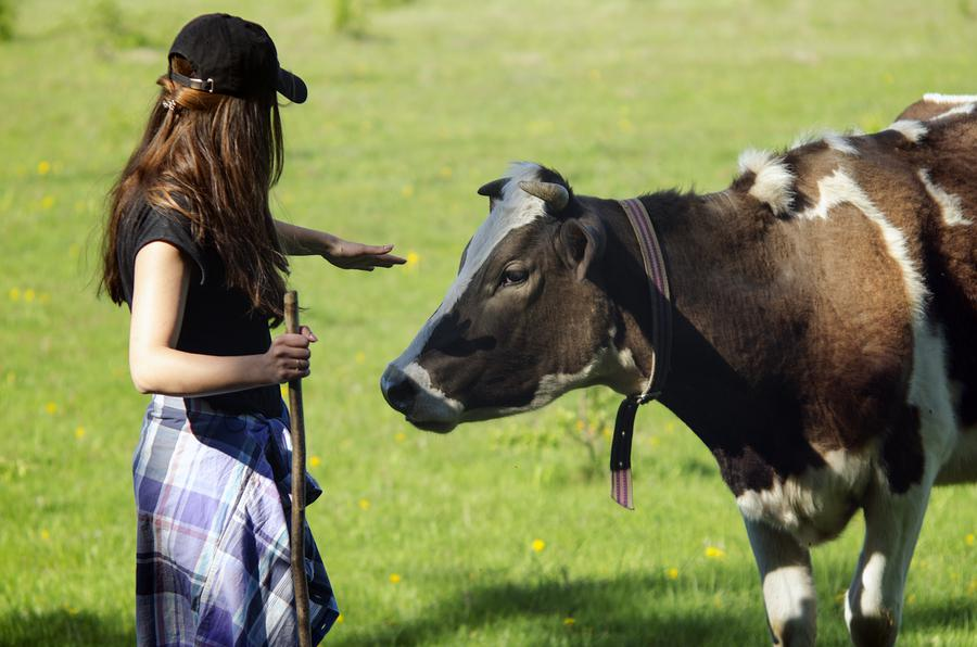 bigstock girl and the cow in a field s 240841771