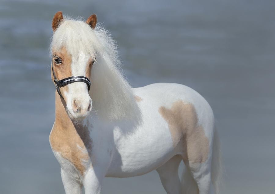 bigstock paint american miniature horse 321937852