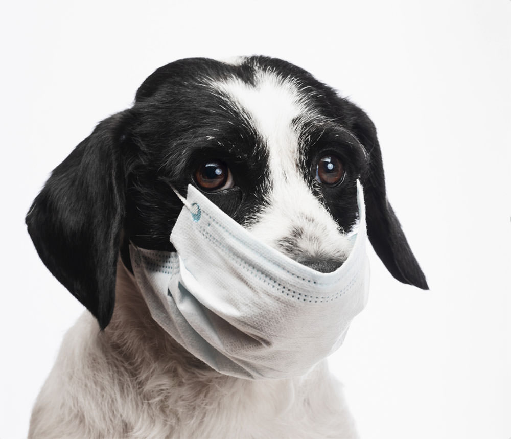Dog wearing a surgical mask