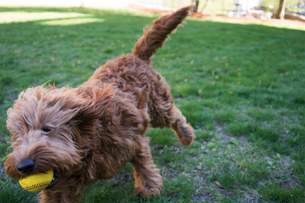 Golden Doodle Catches ball