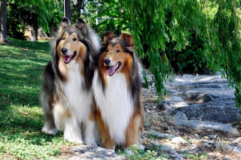 What Are the Best Psychiatric Service Dog Breeds?