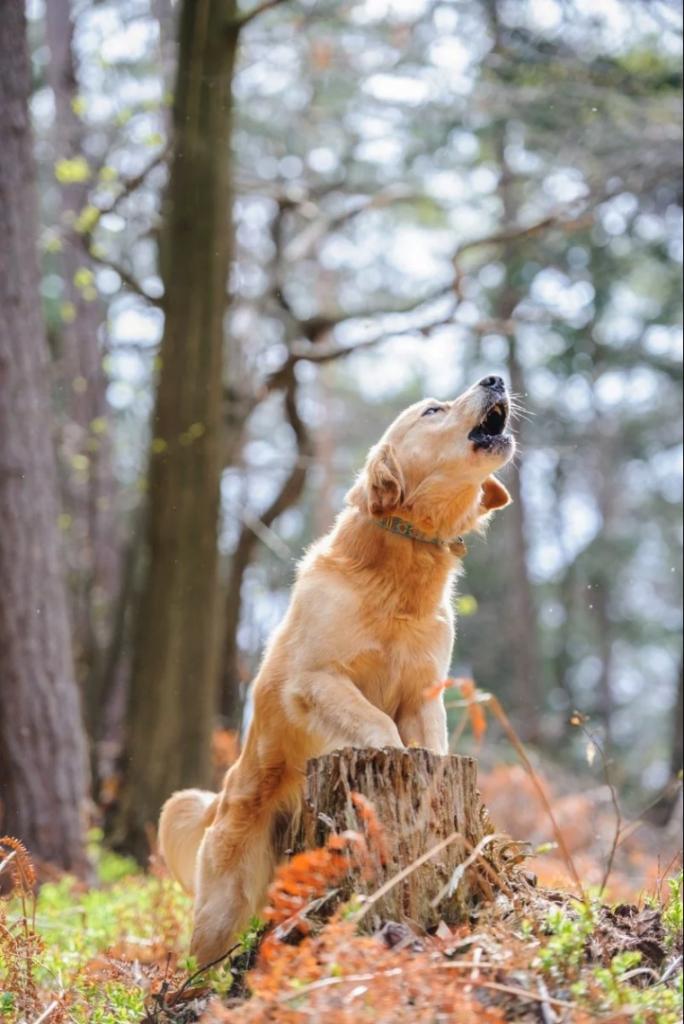 10 strange dog behaviors: howling