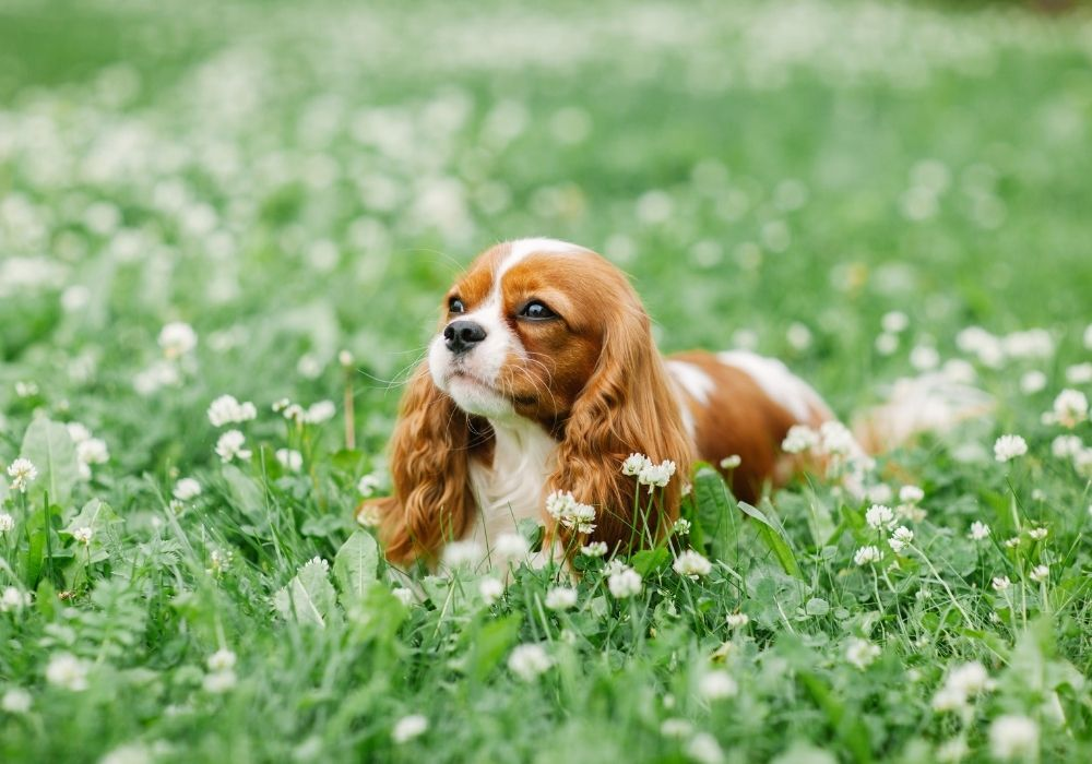 What Are The Cutest Dog Breeds? Top 6 Choices: #2 Cavalier King Charles