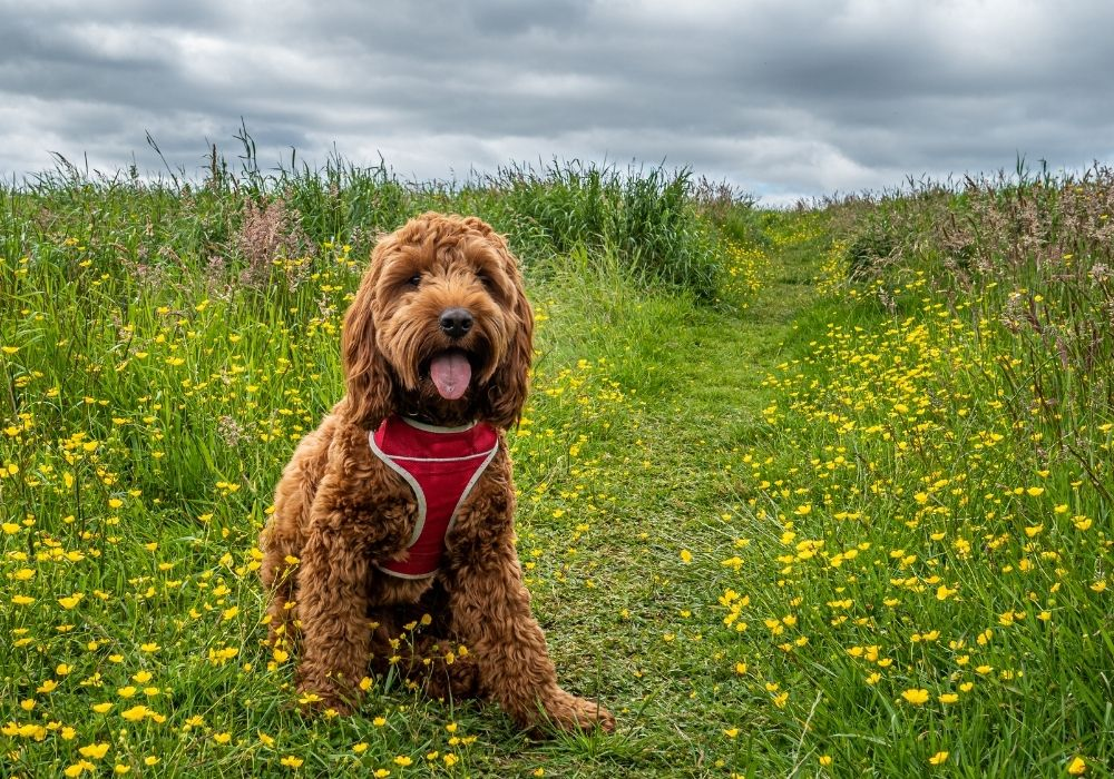 What Are The Cutest Dog Breeds? Top 6 Choices: #6 cockapoo