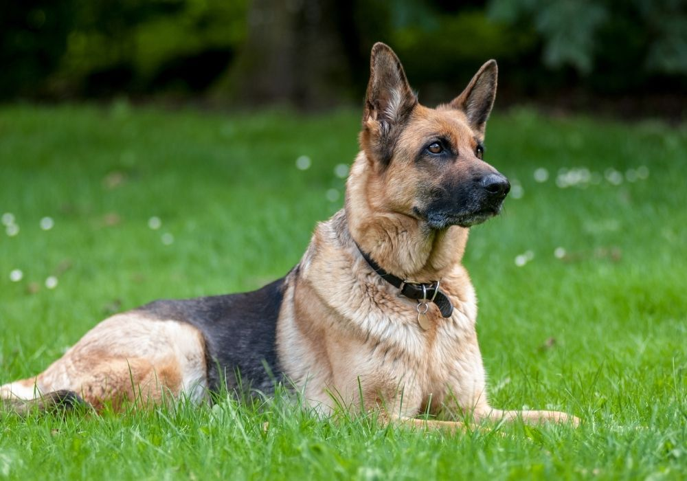 What Are The Cutest Dog Breeds? Top 6 Choices: #5 German Shepherd