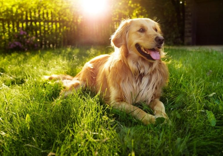 What Are The Cutest Dog Breeds? Top 6 Choices: #1 golden retriever