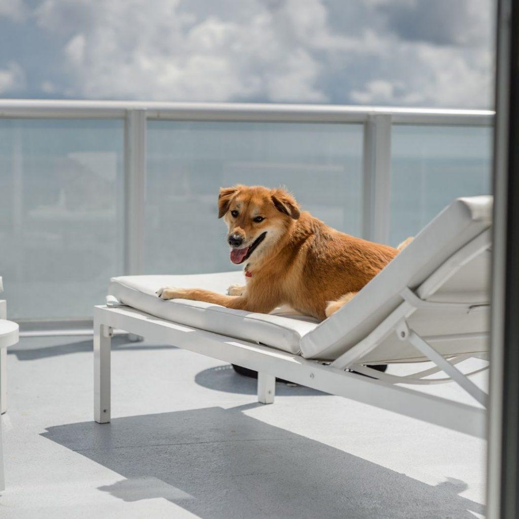 Psychiatric Service dog sitting on hotel balcony
