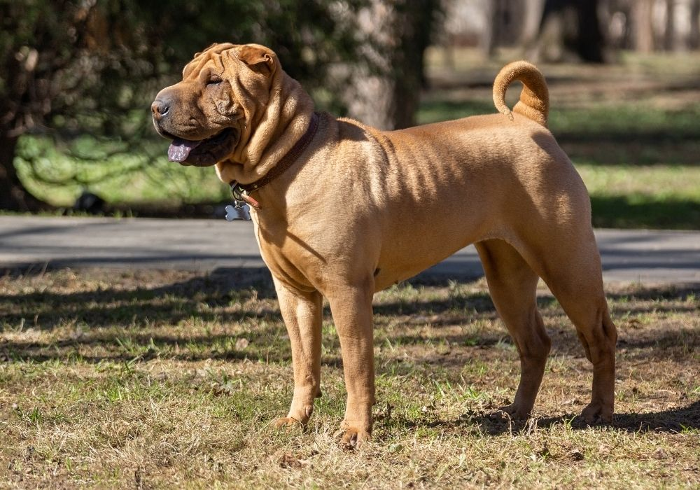 What Are The Cutest Dog Breeds? Top 6 Choices: #3 shar pei