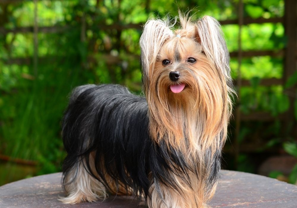 What Are The Cutest Dog Breeds? Top 6 Choices: #4 Yorkie