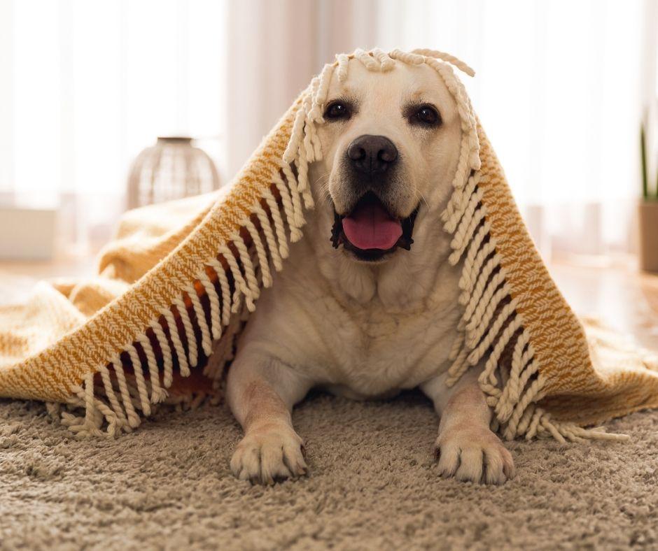 Dog Care - Dog Under Blanket